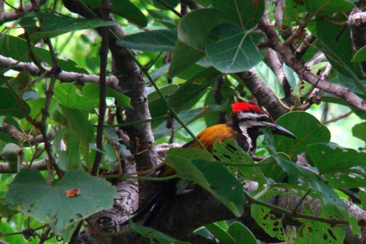 woodpecker_in_india_1