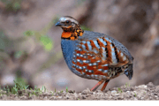 rufous_throated_partridge