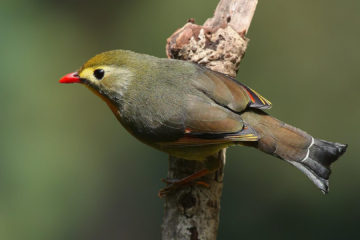 red_billed_leiothrix
