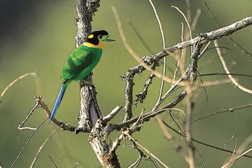 broadbill_bird