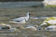 ibisbill_bird
