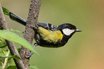 black_headed_tit