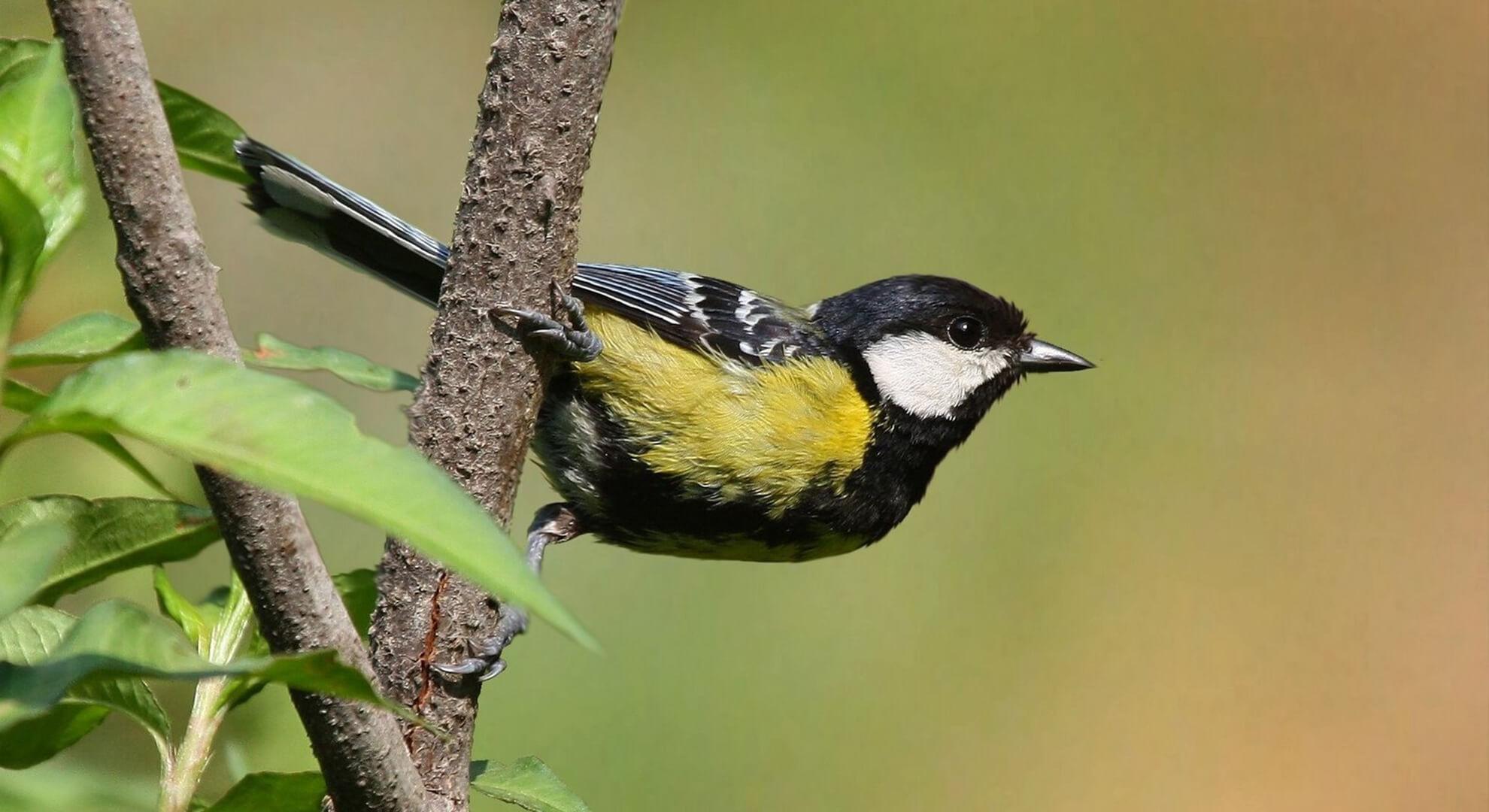 Birds of Foothills (05 Days; # 472; forktail)