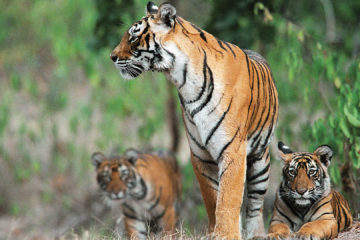 wildlife_photography_jim_corbett