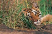 tiger_tours_jim_corbett