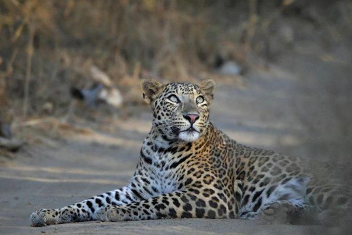 jhalana_leopard_safari
