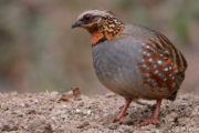 rufous_throated_partridge_1