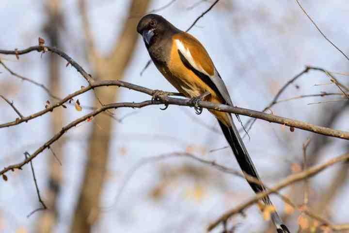 treepie_bird