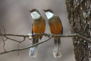 white throated laughingthrush